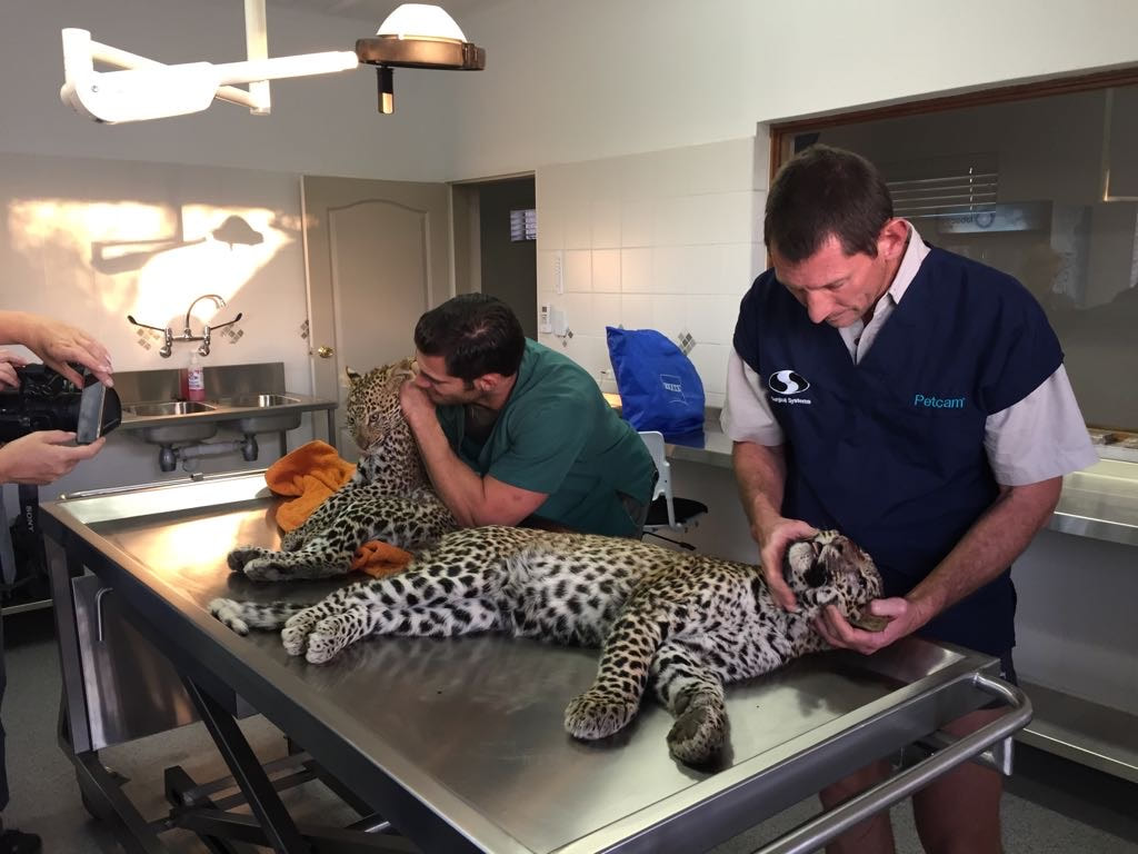 Rare leopards being kept healthy